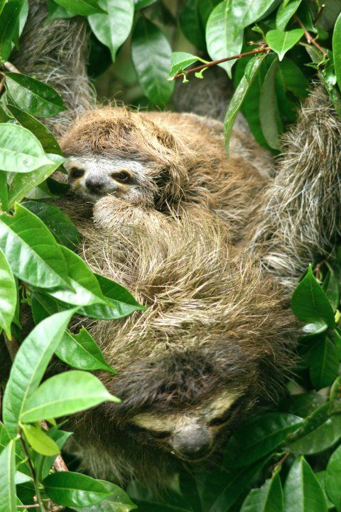 "Sloth Mama & Baby in Tortuguero National Park. ""Suddenly the boat stops, reverses and heads straight for the forest to our left. As we get closer I spot a brown lump camouflaged by the brush right at eye level, but only when we're within 20 yards do I realize it's a three-toed sloth. We're within 10 yards before we notice the furry lump on top of the sloth, and everyone lets out a collective gasp as we realize it's a mother and baby..."""