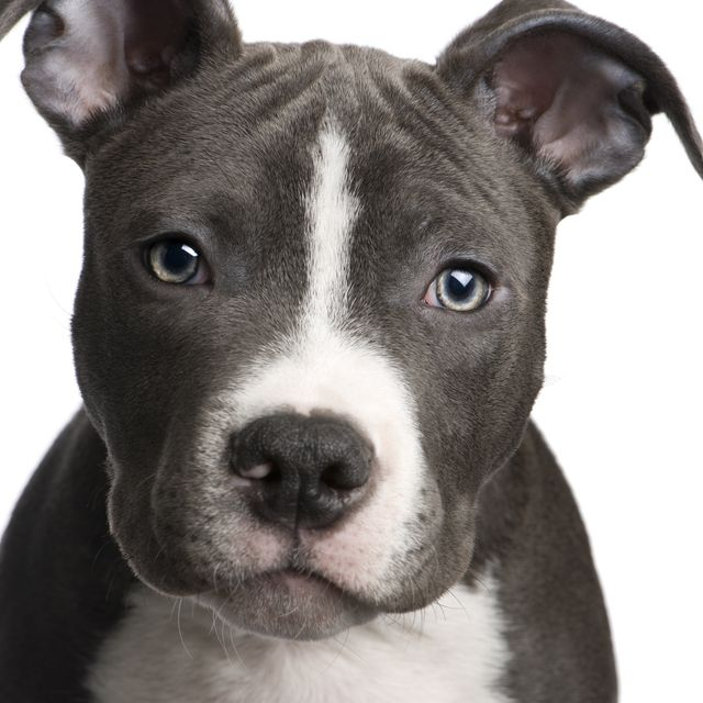 our next dog, another american pitbull terrier but grey<3