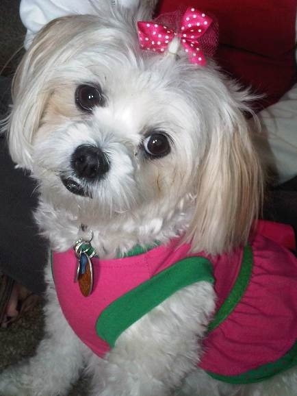 maltese shih tzu pictures | ... is a female 3-year-old Shih-Tzu/Maltese that wants you to adopt her