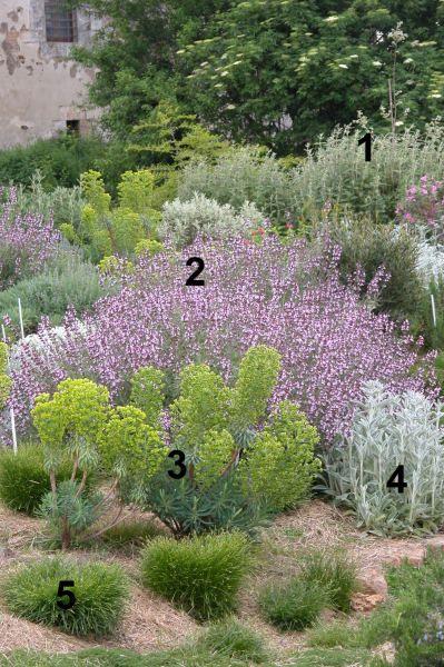 1) Phlomis purpurea 2) Salvia fruticosa 3) Euphorbia characias ssp. wulfenii 4) Stachys byzantina 5) Carex muricata ssp. divulsa