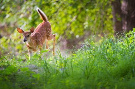 Pictures, videos, photos, about white-railed deer, the state mammal of Ohio.