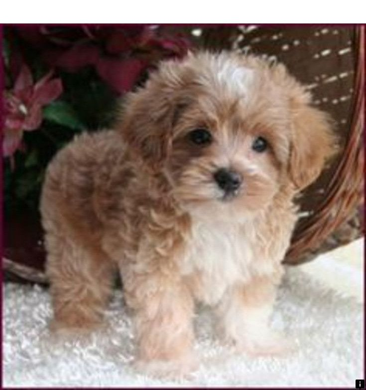Pin By Bayleigh Jackson On My Future Cavalier In 2020 Cute Animals Maltese Poodle Puppies Maltipoo Puppy