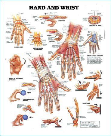 Anatomy of the wrist and hand