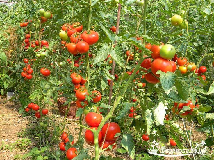 ХОТИТЕ ПОЛУЧАТЬ ПО 2 ВЕДРА ТОМАТОВ С КУСТА?    МОИ СЕКРЕТЫ:  Люблю высокорослые сорта томатов.  Я сажаю по 2 растения, выравнивая верхушки, соединив стебли вместе. Они друг друга поддерживают.  Сажаю в траншейки, что бы полив достиг не на 3 см, а пролить глубиной 30 - 35 см. Тогда корневая система будет формироваться на такой глубине, и не будет подвержена весенним похолоданиям и летней жаре. в верхнем слое почвы. Ведь болезни томатов, в основном, провоцируются резкими перепадами…