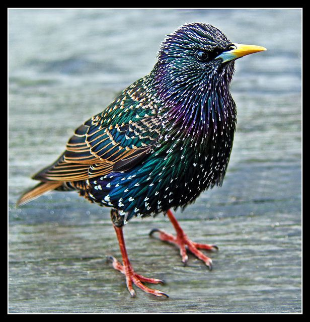Another Common Starling (Sturnus Vulgaris) | Flickr - Photo Sharing).