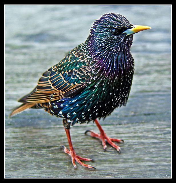 Another Common Starling (Sturnus Vulgaris)   Flickr - Photo Sharing).