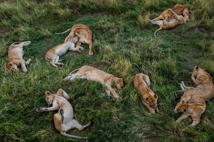 Picture of lions laying in the grass in Tanzania
