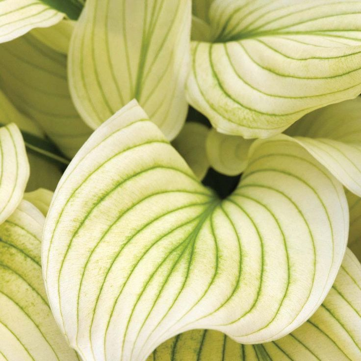 I don't usually pin hostas to this board -- technically this is foliage, not a flower -- but it is soooo beautiful. Hosta 'White Feather'