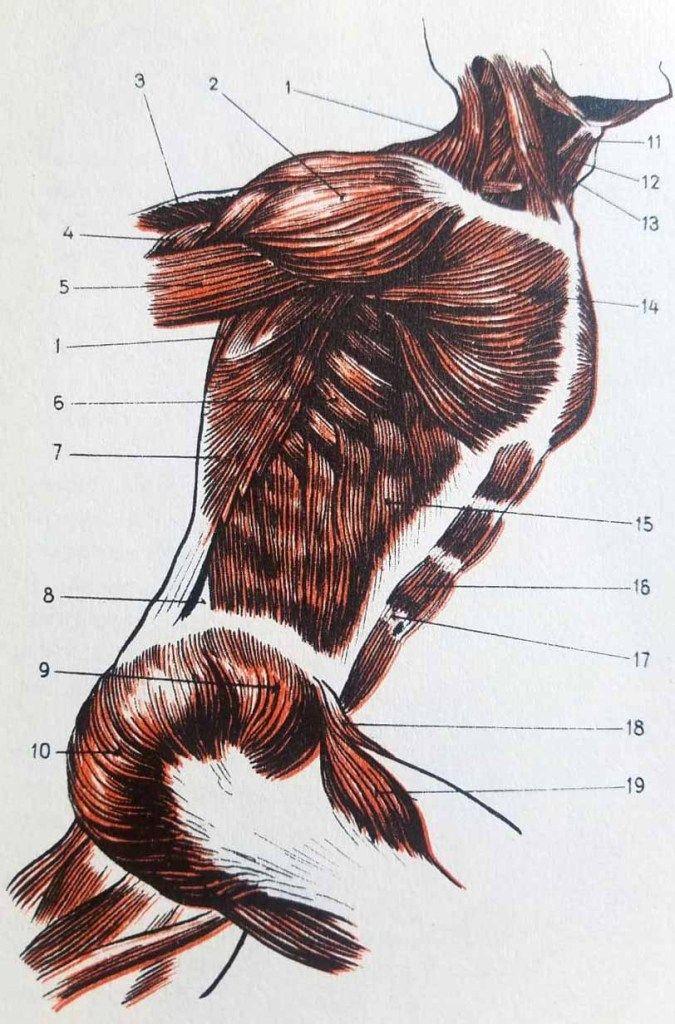 Anatomie artistique du corps humain. - Apprendre la ...