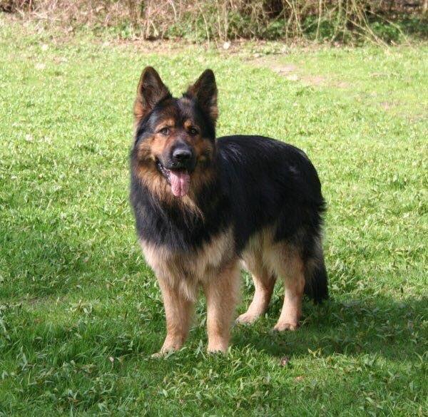 2017 Altdeutsche Schaferhunde Von Gignat Fairytale Schaferhunde Altdeutscher Schaferhund Hunde