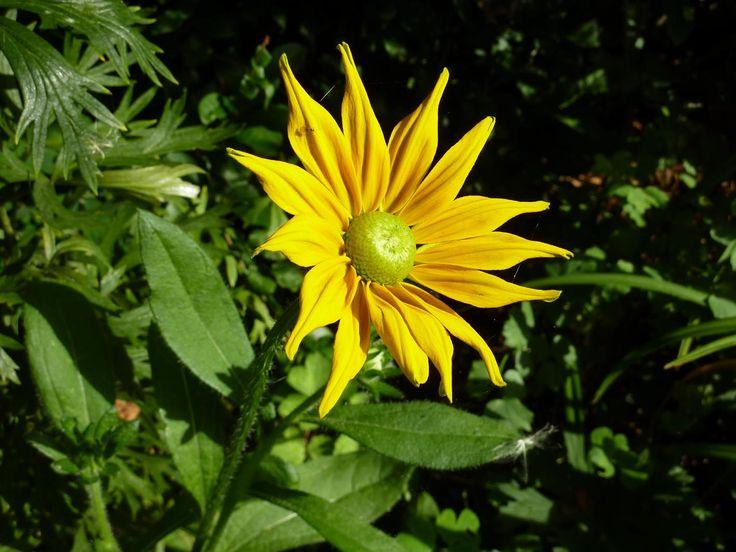 1687 best yellow flowers images on pinterest yellow flowers rudbeckia irish spring yellow flowersirishirish peopleirelandirish language mightylinksfo Images