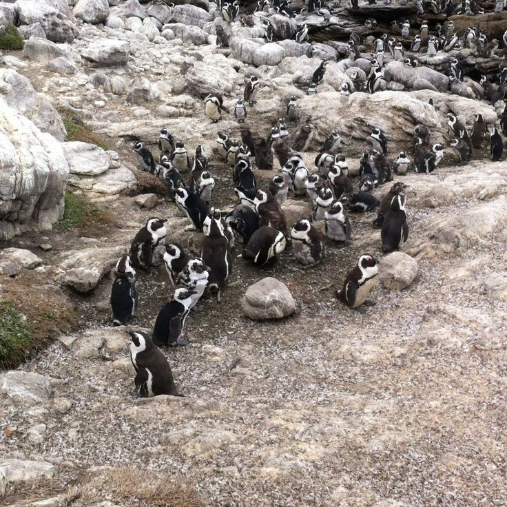 African Penguins - highly endangered species - Pringle Bay, South Africa