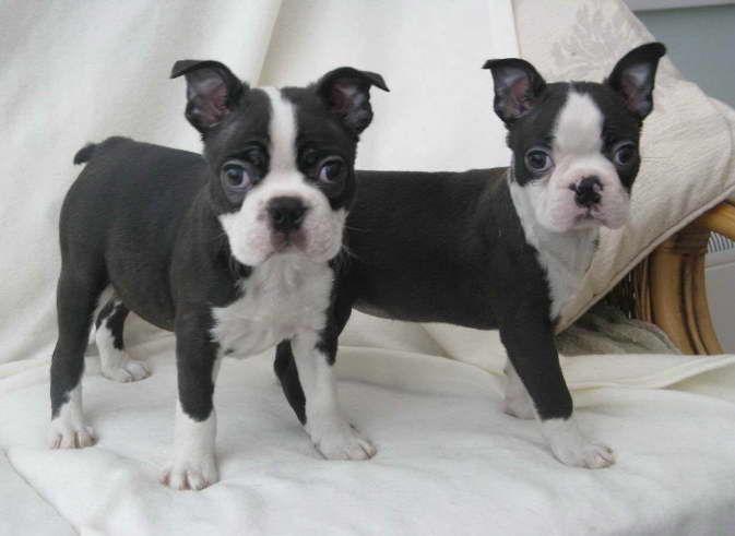 Pin By Susan Hixenbaugh On Everything Boston Boston Terrier Puppy Terrier Puppies Boston Terrier Dog