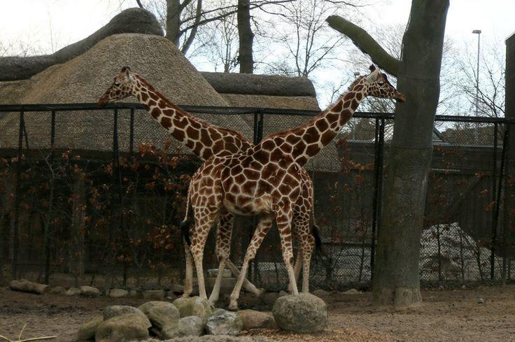 Double Giraffe by Oleg Anisimov on 500px
