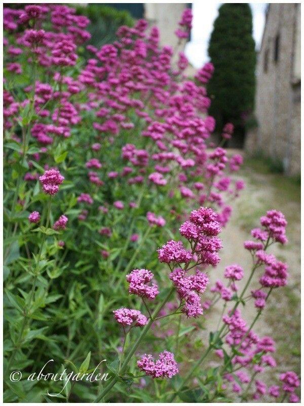Centtanto o valeriana rossa Erbacea perenne Fiori ESTATE rosa 100 cm