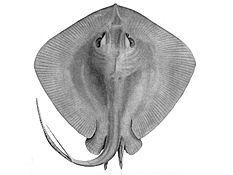 Skate (fish) - Wikipedia