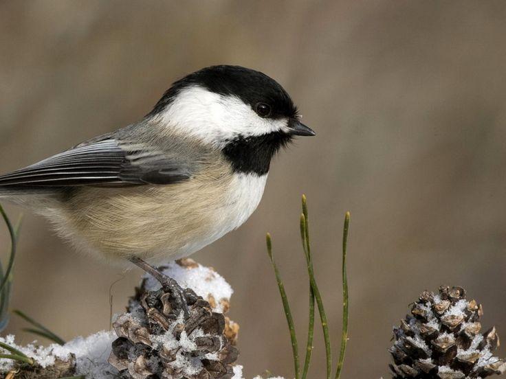 lintu kuvia, tiainen taustakuvia, istua vektori, haara taustat