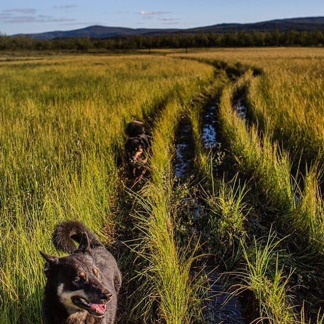 Riding on Mia's ATV with a wet dog on my lap and more running alongside us. On the hunt for fresh cloudberries in Finnish Lapland for @nytmag Photo by Kirsten Luce.