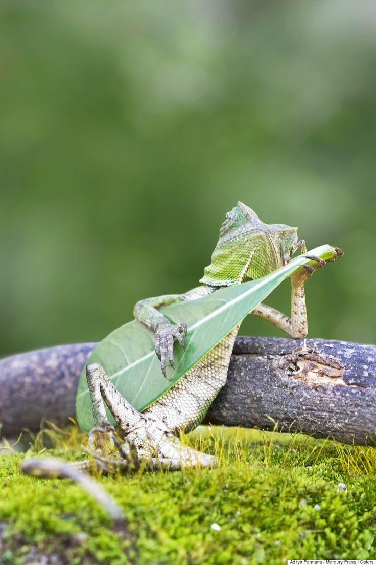 El lagarto más molón del mundo se pasa el día tocando la hoja-guitarra