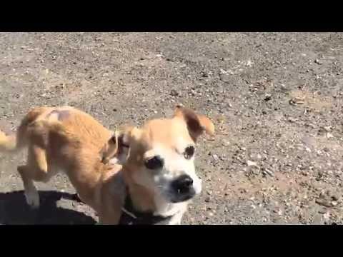 JOJO – A1049233 | Help us Save NYC AC&C Shelter Dogs
