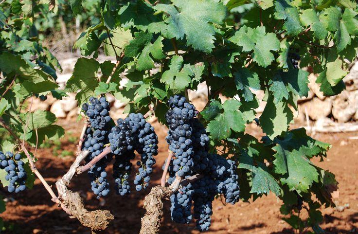 """Il primitivo del Salento visto con gli occhi della """"CapraEnoica"""", Fabrizio Capra racconta su Saperedivino il suo incontro con l'uva primitivo e il suo vino."""