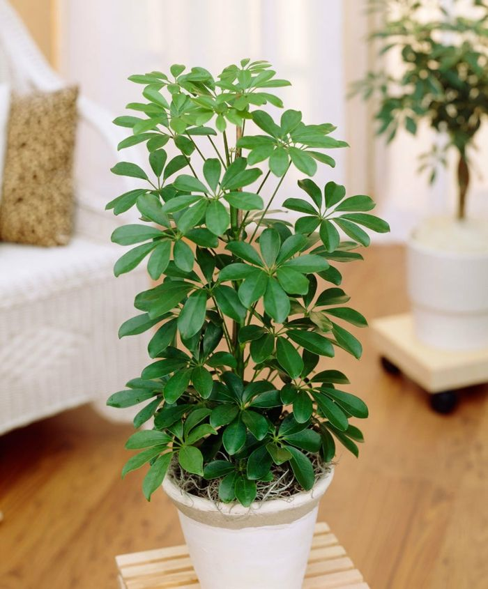 Plantas De Interior Resistentes Varias Opciones Macetas Y Jardines - Plantas-de-interior-resistentes