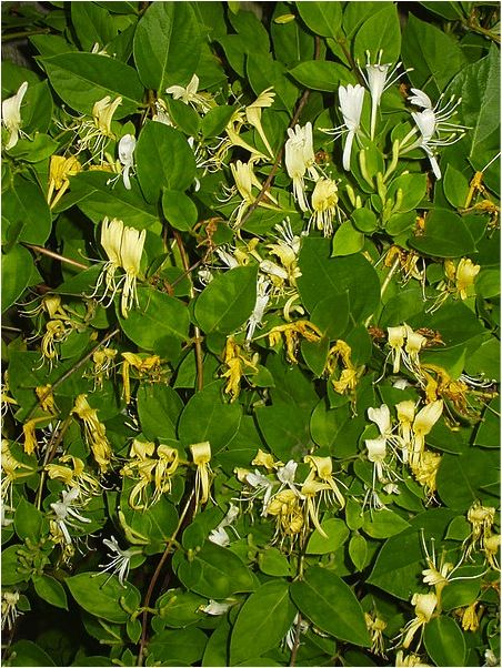 """""""Honeysuckle can be used for fever,flu and external wash for arthritic joint's,sores and scabies. Do not let your chickens near them though"""" I have two big honesuckle vines in my yard off the porch. I didn't know they were bad for chickens. Must research further. Nichole"""