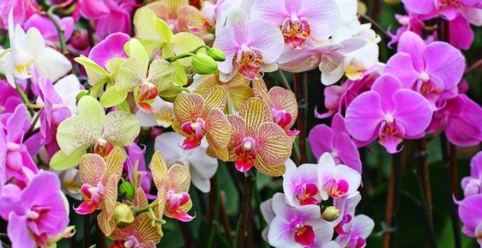 6 jenis anggrek tercantik, indah dan paling terkenal