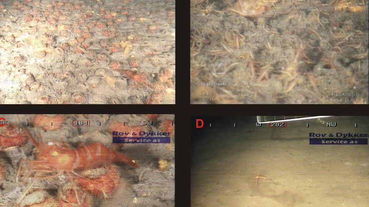 Oppdrettsnæringen rammer arter på havbunnen