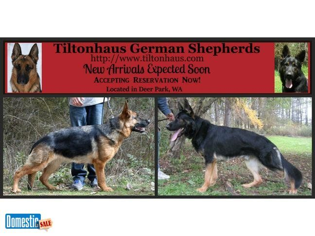 AKC German Shepherd Puppies For Sale in Spokane Washington AKC GERMAN SHEPHERD top quality puppies who come from a long line of incredible champion German bloodlines in both the ...