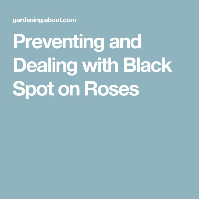 Preventing and Dealing with Black Spot on Roses