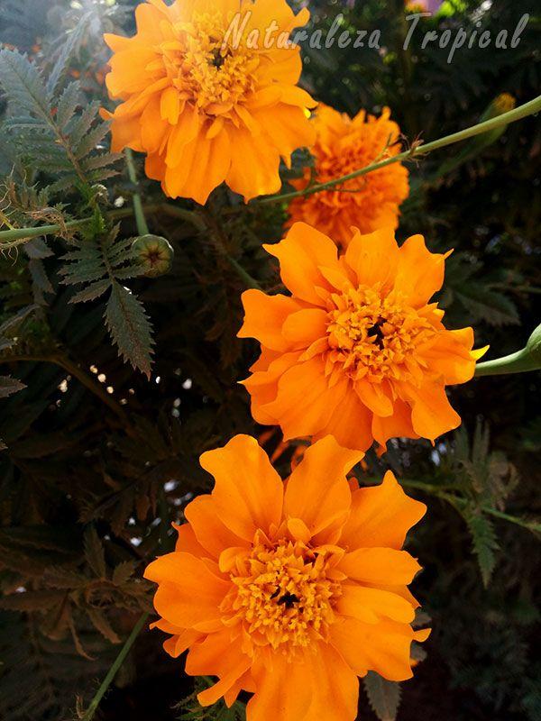 Inflorescencias características simples de la Flor de Muertos, Tagetes erecta