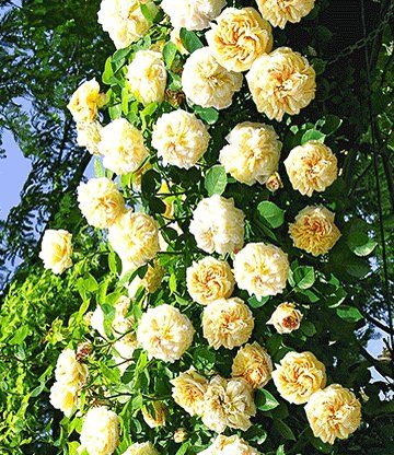 27 best My David Austin Roses images on Pinterest | David austin ...