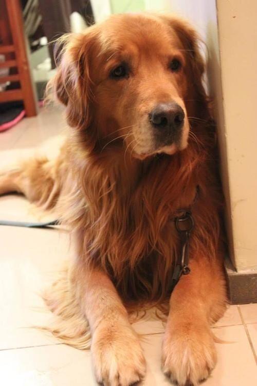 15123 best group golden retrievers best dog breed ever. Black Bedroom Furniture Sets. Home Design Ideas