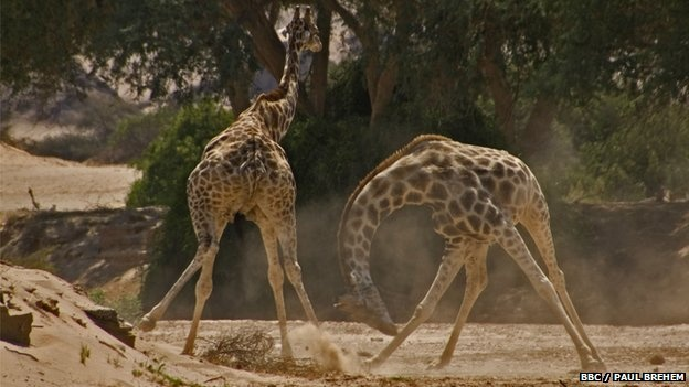 As the tallest animals in the world, with gangly legs, twisting black tongues and patchwork markings, giraffes (Giraffa camelopardalis) are instantly recognisable. Footage recorded for a new landmark natural history series, Africa, coproduced by the BBC and Discovery, reveals a little seen brutal aspect to giraffes' lives. Male giraffes were filmed engaging in a bruising fight, literally going head to head until a single giraffe is left standing.