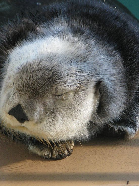 Sea otter is in the middle of a very peaceful nap - June 30, 2015