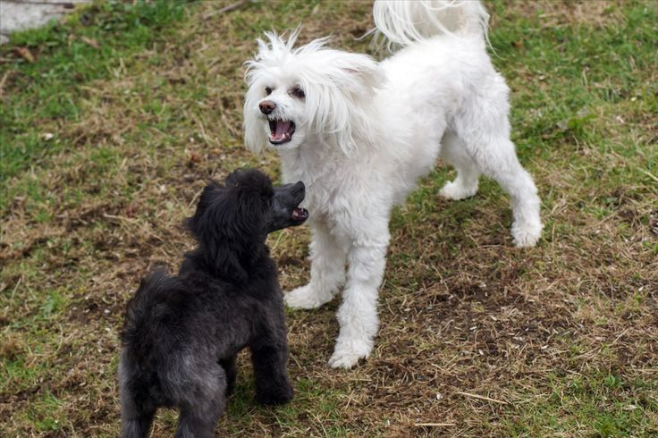Timo og Elvis talking, Chinese Crested Powderpuff