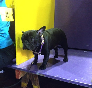 Meet the dogs of Westminster: Joey Bag A Donuts, French bulldog   The Lookout - Yahoo! News