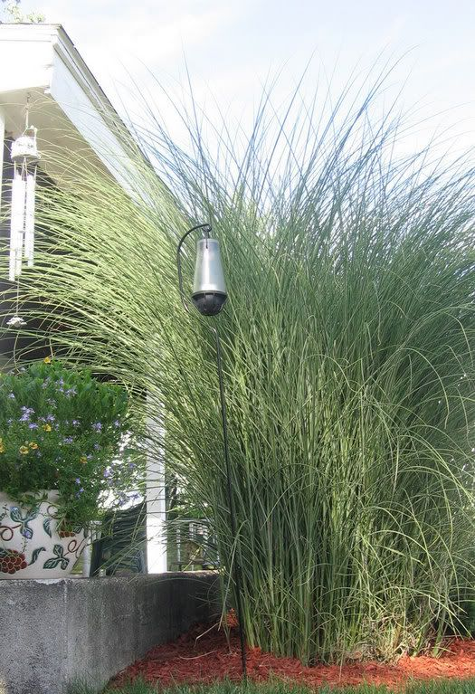 25 b sta id erna om privacy plants p pinterest g rd for Ornamental grass in containers for privacy