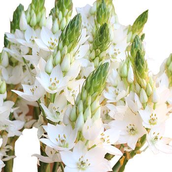 FiftyFlowers.com - Star of Bethlehem White Flower  $100 for 4 bunches of 10 stems