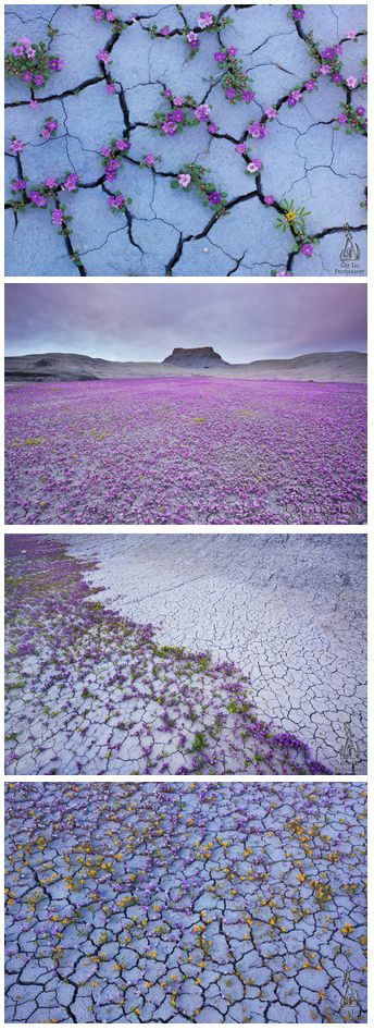 The Badlands region in the Utah is famous for its arid and unforgiving landscape, which is decorated by sharp and eroded spires of stone. If you catch it at just the right moment and in the right conditions, however, these apparent wastelands can give birth to an extraordinary explosion of color and life in the form of beautiful wildflowers.