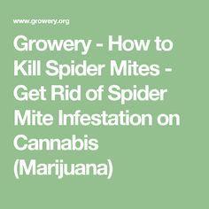 Growery - How to Kill Spider Mites - Get Rid of Spider Mite Infestation on Cannabis (Marijuana)