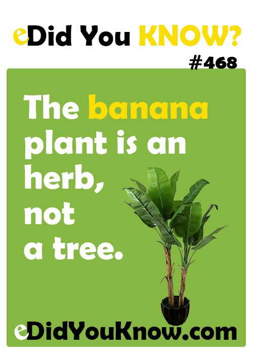 The banana plant is an herb, not a tree. In fact, the banana is the largest plant on earth without a woody stem.  eDidYouKnow.com