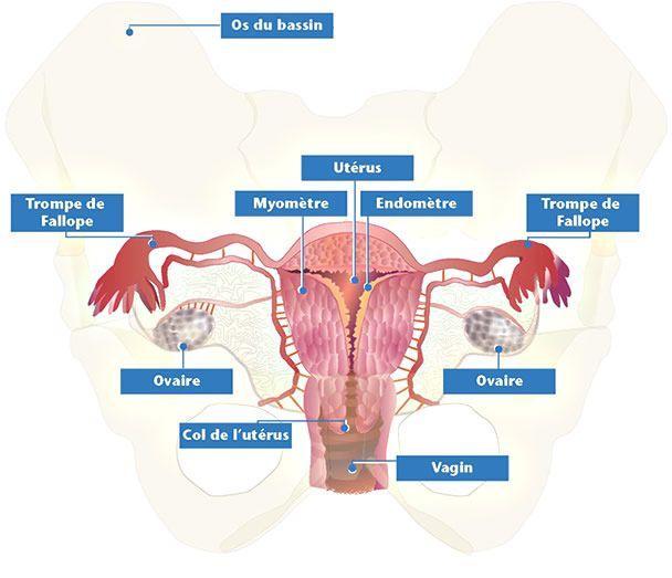 Procréation assistée: Le système reproducteur féminin