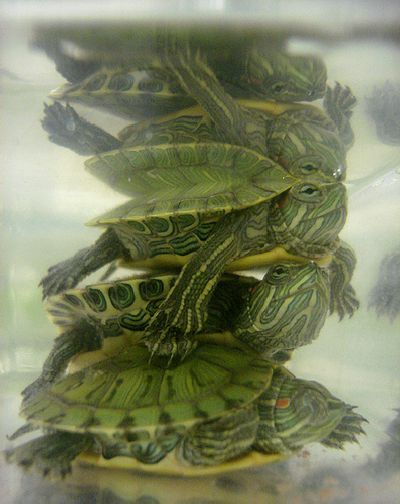 Cute Baby Turtles - Red eared sliders.
