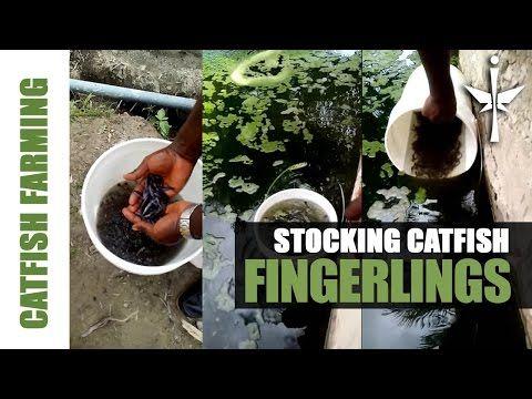 Stocking Catfish Fingerlings in Pond. - YouTube