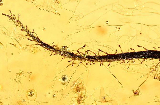 An Eocene carnivorous plant in amber (Image Credit: Alexander Schmidt-University of Gottingen)