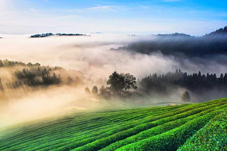 morning mist over green tea plantation in Bosung, Korea