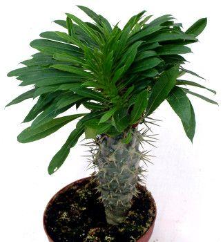 79 best images about flori si plante de apartament on for Plante palmier