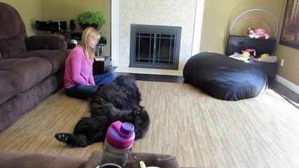 Newfoundland dog demands a belly rub - http://dailyfunnypets.com/videos/dogs/newfoundland-dog-demands-a-belly-rub/ - Newfoundland köpek bir göbek ovmak talepleri viral videolar,komik hayvanlar,komik köpekler,sahibi newfoundland köpek,köpek savunuyor pouts,bel masaj? köpek,Köpek (Evcil Hayvan),Newfoundland (Hayvan Cins),Köpek,Sevimli,Hayvanlar,Hayvan,Zeka (web... - bauch, belly, bir, demands, dog, göbek, hund, köpek, neufundland, newfoundland, ovmak, reiben, rub, tal